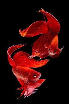 Red Siamese Betta Splendens fish by Subpong Ittitanakui Colorful Fish, Tropical Fish, Poisson Combatant, Beautiful Creatures, Animals Beautiful, Beta Fish, Siamese Fighting Fish, Paludarium, Beautiful Fish