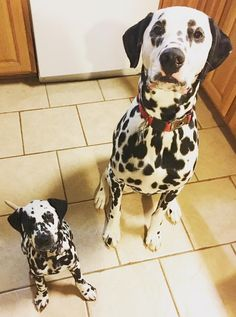 Pongo And Perdita, Dalmatian Puppies, Spotted Dog, Dog Lady, Therapy Dogs, Puppys, Cute Baby Animals, Dog Stuff, Puppy Love