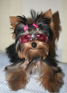 Wish Diva would let me dress her up. Yorkie Style