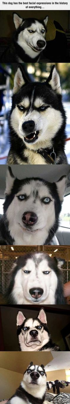 The Master Of Facial Expressions, they're all different huskies but they do make the best faces