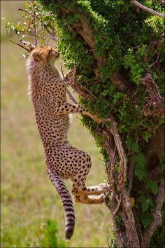 Cheetah my favorite animal!!❤