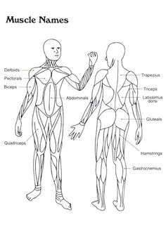 Free muscular system coloring pages ~ 98 Best Coloring Pages for Biology images | Coloring pages ...