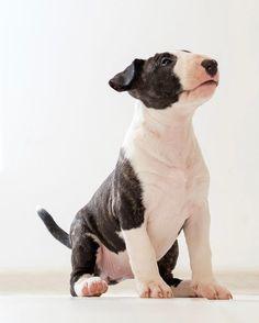 280 vind-ik-leuks, 5 reacties - Bullterrier Cha (@ladybullterrier) op Instagram: 'Good girl))) N2 Dark Brindle girl. 8 weeks old.  #bullterrier #bullterrierlove #ebt #ebtpuppy…'
