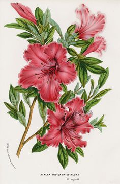 Azalea Indica crispiflora from Floral Prints of Roses, Violet, Peach, Passion Flower from Van Houtte 1845