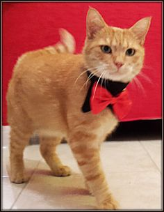 Dog Bow Tie Collar, Cat Bow Tie Collar, Pet Bowtie Collar ideal for wedding, formal occasions with a Choice of BowTie Color