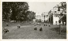 Sheep on the grounds of the White House during WWI