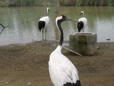 Researcher aims to save endangered cranes