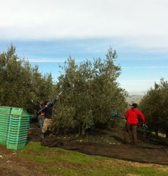 With the help of pneumatic combs, our harvest crew shakes the fruit off the trees before rushing the olives to our mill.