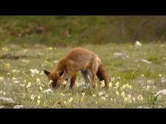 Volpe Rossa - INCONTRI #3 - YouTube
