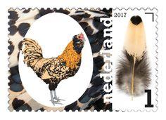 De baard en de kam geven de Nederlandse uilebaard een geheel eigen karakter. Erkend in maar liefst elf kleurslagen, inclusief de unieke moorkopvariant.