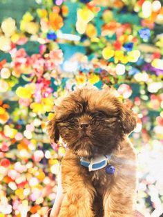 #dog #doggo #doge #pupper #shihtzu #shihtzupuppy #shihtzulovers #shihtzupuppies #shihtzudog #shihtzubaby #shihtzusociety #baby #dogmom #dogparent #ezkywalker Shih Tzu Puppy, Obi Wan, Doge, Dog Mom, Puppies, Baby, Animals, Baby Shih Tzu, Cubs