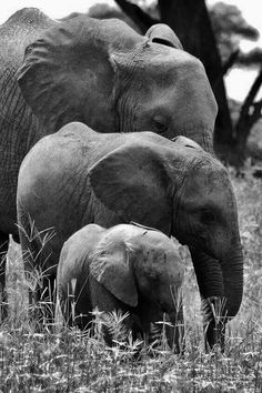 Family Of Three. Isn't it beautiful and Adorable ? This pic of Elephant Family was snapped During The Africa Jungle Safari of 2011 For more travel updates be connected to Travel Universally Photo Elephant, Elephant Family, Elephant Love, Elephant Images, Elephant Pictures, Small Elephant, Elephant Art, Elephant Gifts, Animals And Pets