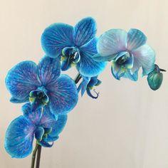 Trionfo di bellezza!!!  #orchidea #orchideablu #benarrivataacasa #blue #bluebeauty #orchid #blueorchid #natasciapane #nofilter