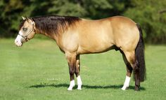 Blue Eyed Buckskin Stock Type Quarter Horse HF Mobster. <3 what a beauty with a heat!