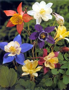 Aquilegia 'McKana Hybrids' Mixed Colors-Columbines... if you want butterflies and hummingbirds make sure to plant these.