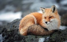 Free wildlife photography wallpapers 1200 x 1920 HD Backgrounds, High Definition wallpapers for Desktop, Dual Monitors, Laptop, Tablet Nature Animals, Animals And Pets, Cute Animals, Wild Animals, Animal Dictionary, Fabulous Fox, Pet Fox, Most Beautiful Animals, The Fox And The Hound