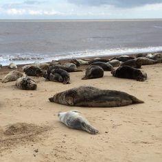 100s of Seals#Norfolk