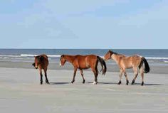 cumberland island: I found the horses and they are only 2 and a half hours away!