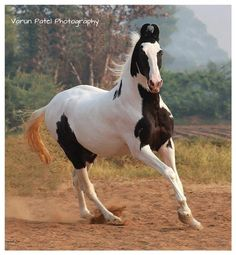Did you Know that the Marwari House Breed of Indian Horse can Beat an Arabian Stallion !!!