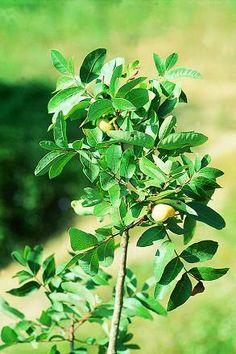 La cornicabra o terebinto (Pistacia terebinthus) es un arbusto grande de hojas compuestas y caducas. Es mayor que su pariente de hoja perenn...