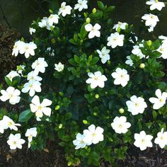 I love my Gardenias which line the walk and provide such glorious fragrance and delight in the mornings!