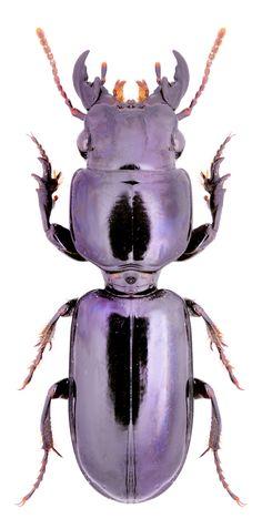 Purple | Porpora | Pourpre | Morado | Lilla | 紫 | Roxo | Colour | Texture | Pattern | Style | Form | Geoscaptus cacus