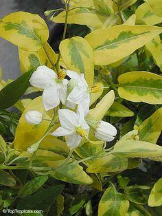 Solanum jasminoides  Family: Solanaceae  White Potato Vine, jasmine nightshade  Origin: Brazil, Ecuador, Paraguay