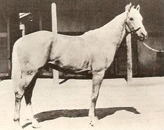 Plaudit, photo circa 1933, at the Philmont Ranch, from the Western Horseman Magazine, Jan. 1950.