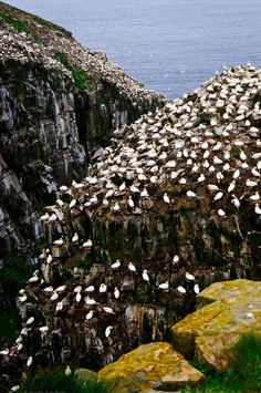 Mary's Ecological Bird Sanctuary In Newfoundland by DISABLED_elenathewise on PhotoDune. Northern gannets at Cape St. Mary's Ecological Bird Sanctuary in Newfoundland, Canada O Canada, Canada Travel, Canada Trip, Alberta Canada, Newfoundland And Labrador, Newfoundland Canada, Gros Morne, Atlantic Canada, Belle Villa
