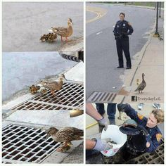 This mom crossing trough a grid by which most of her babies fell down. Fortunately, these cops took notice and did not hesitate to get out safely the little ones ... There are still good hearted people. ( from Facebook's Animal Liberation Worldwide page)