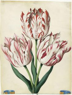 Tulips by Johann Bartholomaus Braun. From an album of 190 watercolour illustrations, entitled 'Flora Picta' part of a study documenting the garden of the Count of Baden-Durlach.