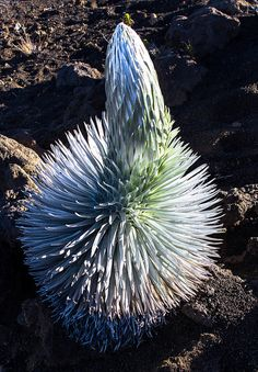 Silver Sword | Flickr - These plants grow where no other plants grow at this elevation, and are only found on Maui and Big Island at very high elevations (+9000ft).