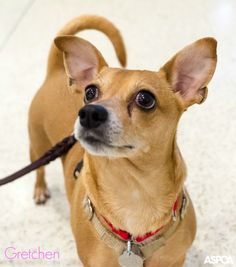 Our Pet of the Week is Gretchen! This pint-sized pup loves her snacks. She's a 5 year -old Chihuahua who is shy around new people, but with a little time (and some treats!), she'd be happy to curl up next to you on the couch! Call our Adoptions department in New York City at (212) 876-7700, ext. 4120 to take her home today.