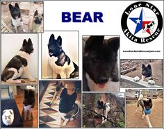 Please share Bear! It takes only two clicks of a mouse to help save a life!  Name: Bear  Age: Around 1 Year Old Gender: Male  Dog Friendly: Female Specific Cat Friendly: Yes Kid Friendly: Unknown  Bear is a well-trained young boy who is looking for a home who wants a big bear of an Akita. He has a thick beautiful coat and knows how to sit and is well-behaved.  He will do ANYTHING for treats! Yummy And he loves Puppy Lattes from Starbucks.   Bear was raised with two cats and can even hang…