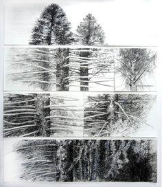 Carolyn Delzoppo. Drawing, Bunya Pines from Mt. Coot-tha Gardens. Brisbane