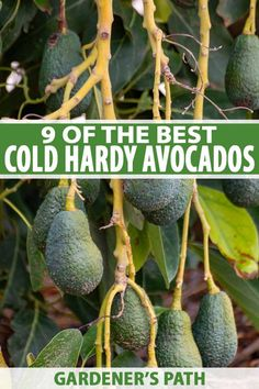 Live in a cold area but still want to grow avocados? Discover 9 of the best cold-hardy varieties that can survive the winter chill with Gardener's Path. Avocado Brownies, Container Gardening, Gardening Tips, Kitchen Gardening, Vegetable Gardening, Organic Gardening, Growing Fruit Trees, Large Greenhouse, Green Fruit