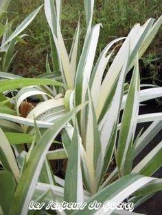 Iris japonica 'Variegata'.Nom commun : Iris japonais Originaire de Chine et du Japon, c'est une espèce vigoureuse à très beau feuillage vert brillant panaché de blanc. Belle fleur blanche, infusée de bleu pâle, à crête jaune. Sol plutôt frais à mi-ombre.