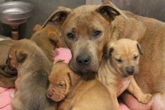 Greenville, SC **RESCUE ONLY** NAME: Pita & Pups ANIMAL ID: 24670314 BREED: Pit mix SEX: female EST. AGE: 2 yr Est Weight: 45 lbs Health: heartworm test pending Temperament: dog friendly, people friendly. ADDITIONAL INFO: 9 puppies (3-4 wks old) RESCUE PULL FEE: $29 Available: 1/4 (needs to be out of the shelter 1/5)