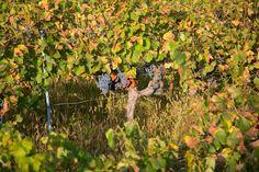 Last vine standing.  Harvesting Rosé grapes in Provence.
