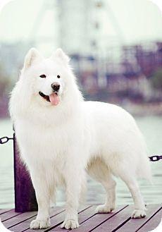 12/4/14 west hollywood, CA - Samoyed/Husky Mix. Meet Aires, a dog for adoption. http://www.adoptapet.com/pet/12028239-west-hollywood-california-samoyed-mix