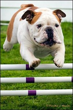 Bulldogs have amazing athletic prowess...
