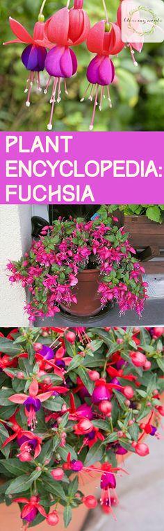 Plant Encylopedia: Fuchsia - Bless My Weeds| How to Grow Fuchsia, Growing Fuchsia, Gardening, Gardening Tips and Tricks, Gardening Hacks, Flower Gardening, Popular Pin #Fuchsia #Gardening
