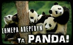 People love Pandas they are like babies.But do you know that a giant panda is actually a bear. Here are Interesting Fun Facts About Panda You Probably Didn't Know Before. Animals And Pets, Baby Animals, Funny Animals, Cute Animals, Niedlicher Panda, Panda Love, Panda China, Cute Panda Baby, Bear Wallpaper