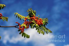 A Bunch Of Mountain Ash by Viktor Birkus Photo Art, Environment, Canada, Wall Art, Christmas Ornaments, Landscape, Park, Holiday Decor, Nature