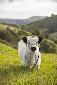 Just a big ol' fluffer in a field – Nutztiere Baby Farm Animals, Baby Cows, Cute Little Animals, Cute Funny Animals, Cow Pictures, Baby Animals Pictures, Cute Animal Pictures, Cute Baby Cow, Cute Cows