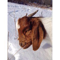 Love Cute Goats