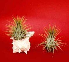 Amazon.com: Air Plants Five Miniature Dwarf Air Plants for Science Projects or Floral Arrangements.: Patio, Lawn & Garden