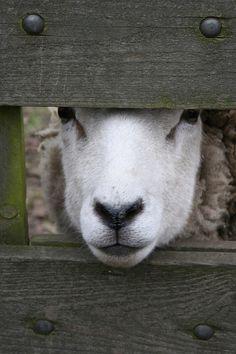 Counting Sheep ♥