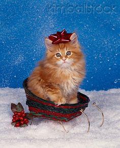 CAT 03 RK0877 01 - Orane Maine Coon Kitten Sitting In Sleigh Wearing Red Bow On Head By Misletoe - Kimballstock