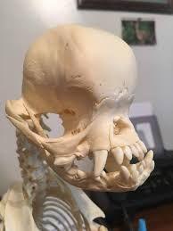 Image Result For Pug Skeleton Pugs Skeleton Skull